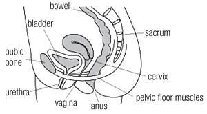 The pelvic floor | The Royal Women's Hospital
